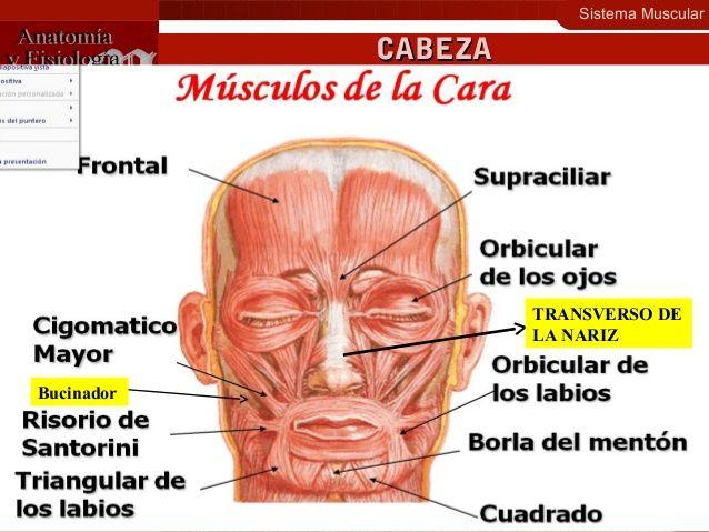 Sistema Muscular 13 Contracción Muscular Distribución Cabeza