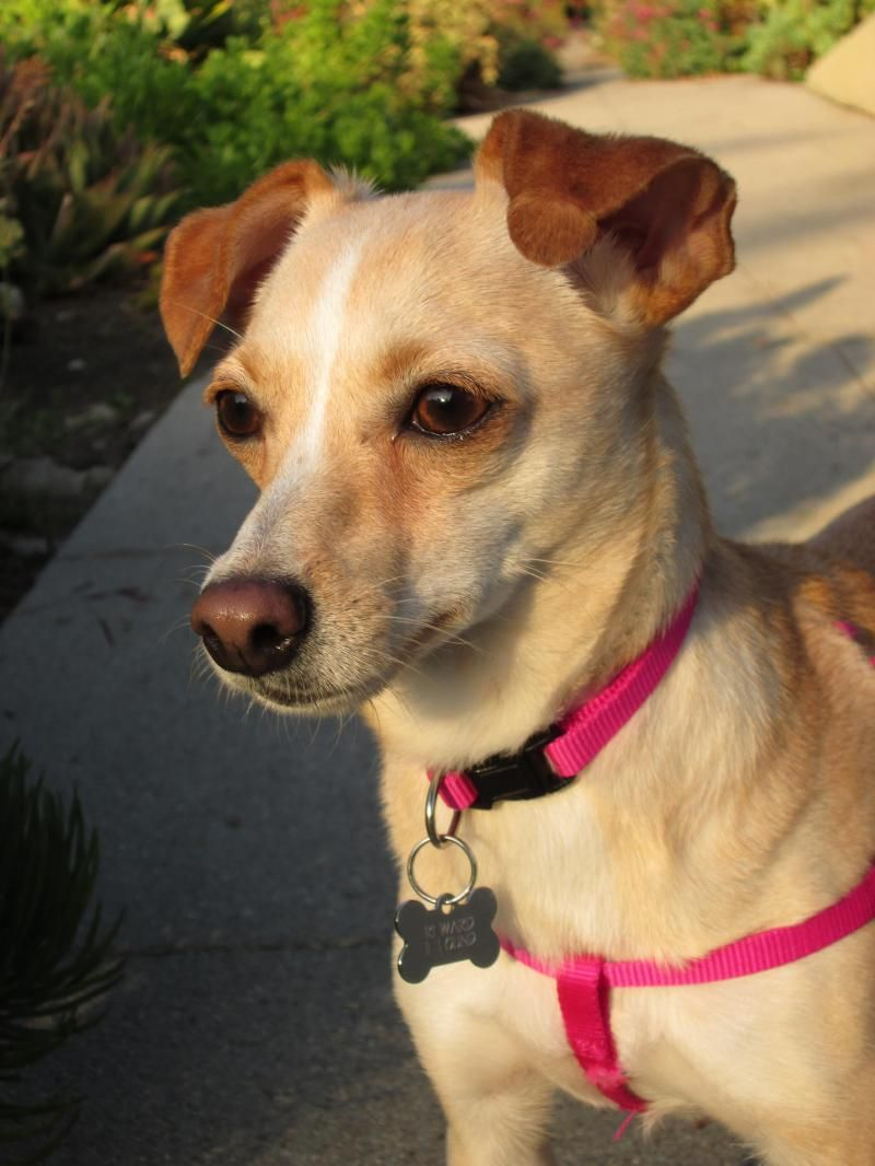 Adopt Jasmine on Rescue & Adopt our Animals Chihuahua