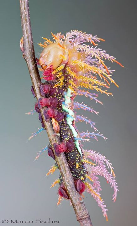 Amazing Caterpillar of Saturniidae Moth in Switzerland