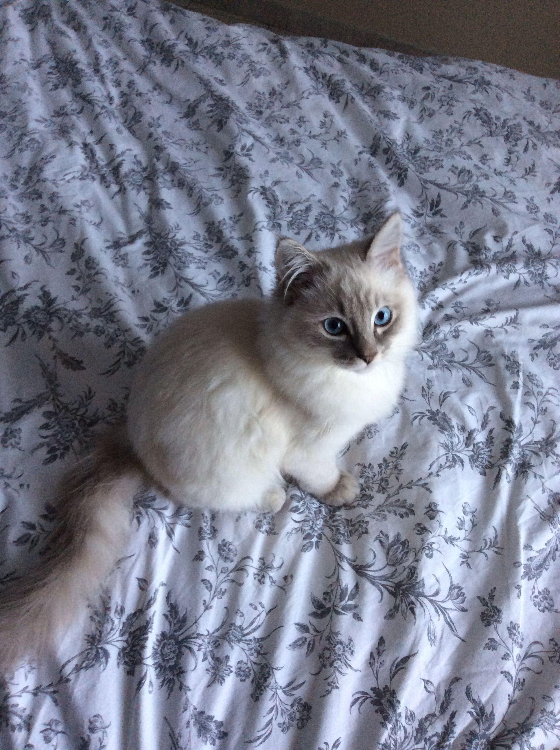 Blue Lynx Point Ragdoll Kitten Milo 4 5 Months Kittens Cutest Cats And Kittens Crazy Cats