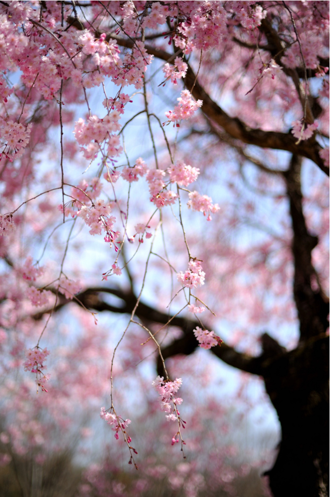 Pin By C Cajka On Spring Trees Branches Blossom Trees Cherry Blossom Blossom