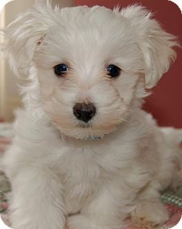 La Mirada Ca Maltese Poodle Toy Or Tea Cup Mix Meet Misha A Puppy For Adoption Maltipoo Dog Maltipoo Puppy Maltese Puppy