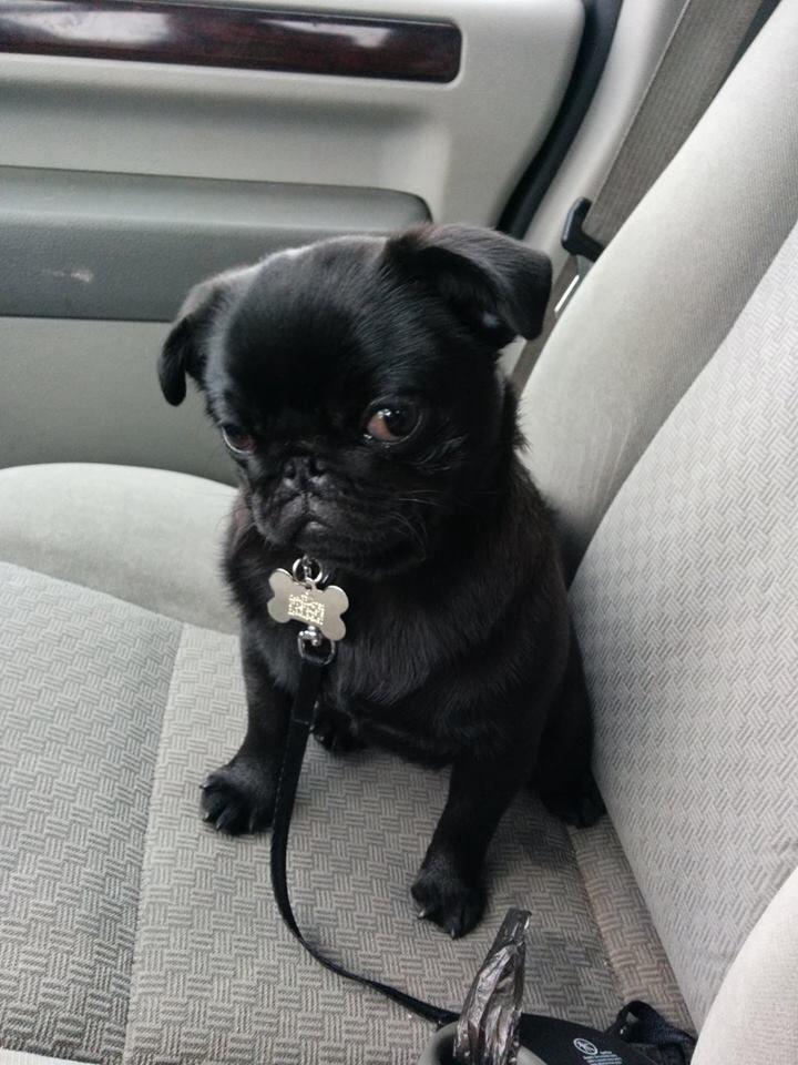 Baby Loki Pug Black Pug Puppies Baby Pugs Pug Puppies