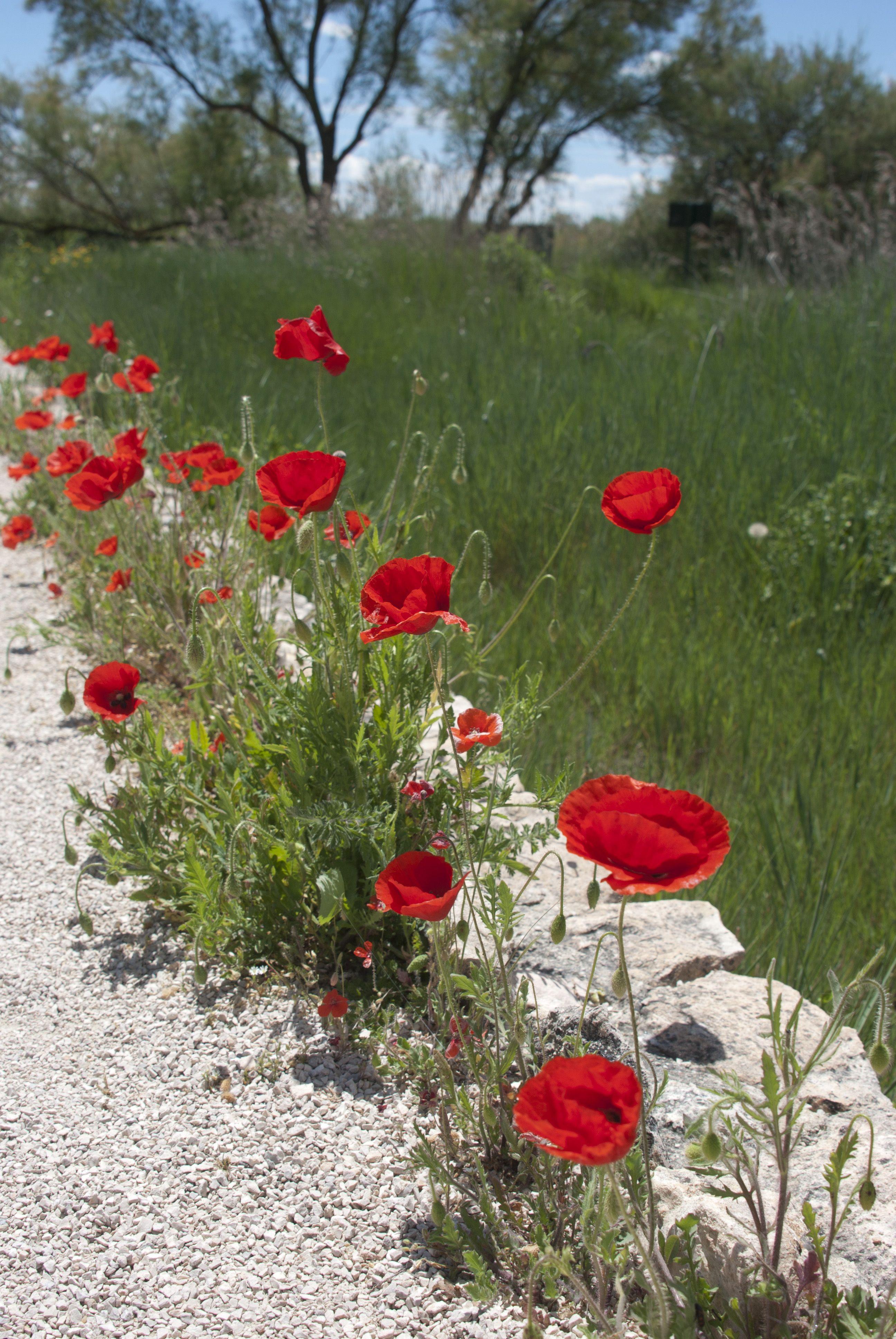 Tablas de Daimiel, Spain. Poppies, by Raquel Climent.