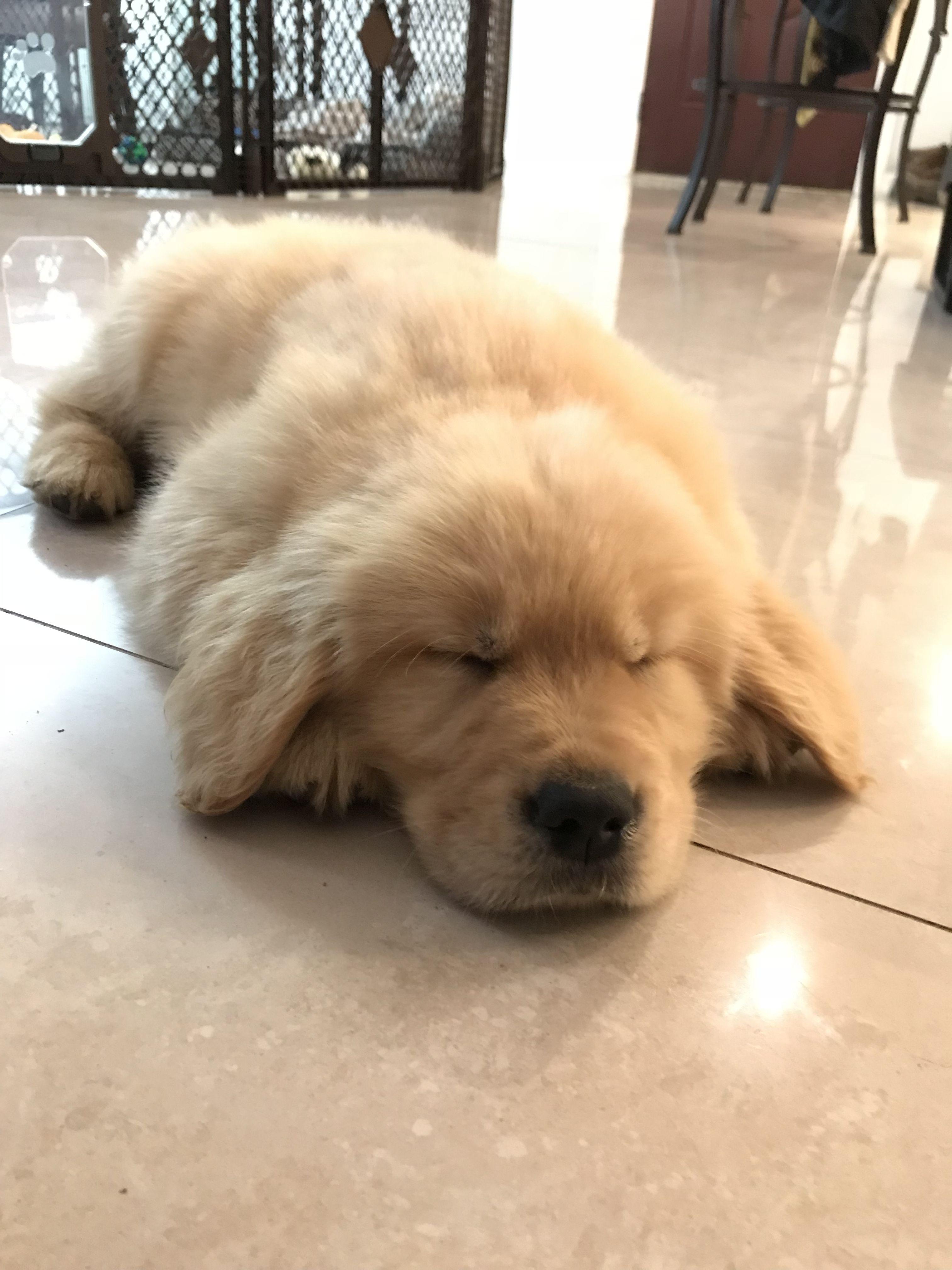 Golden Retriever Puppy Sleeping Wheres Bash Dogs Golden