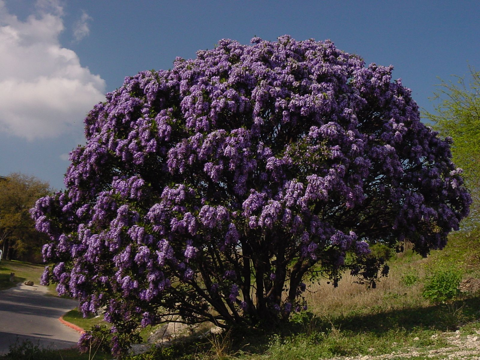 Texas Mountain Laurel Flowering Plantanswers: Plant Answers > 12 Months Of  Watersaver Landscape