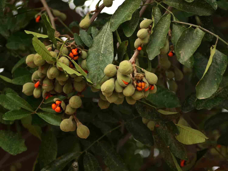 Trichilia Emetica Subsp Natal Mahogany