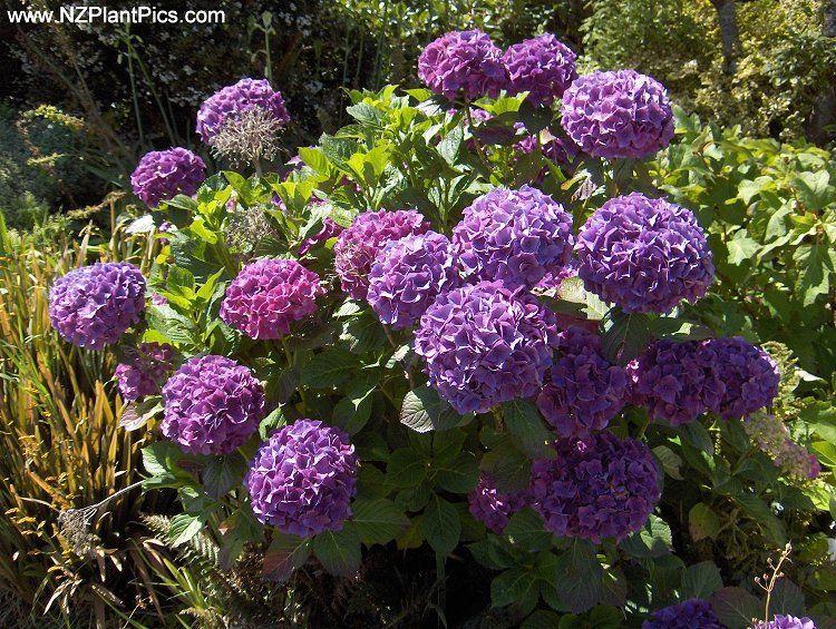 Hydrangea Royal Purple Google Search Planting Hydrangeas Hydrangea Plants