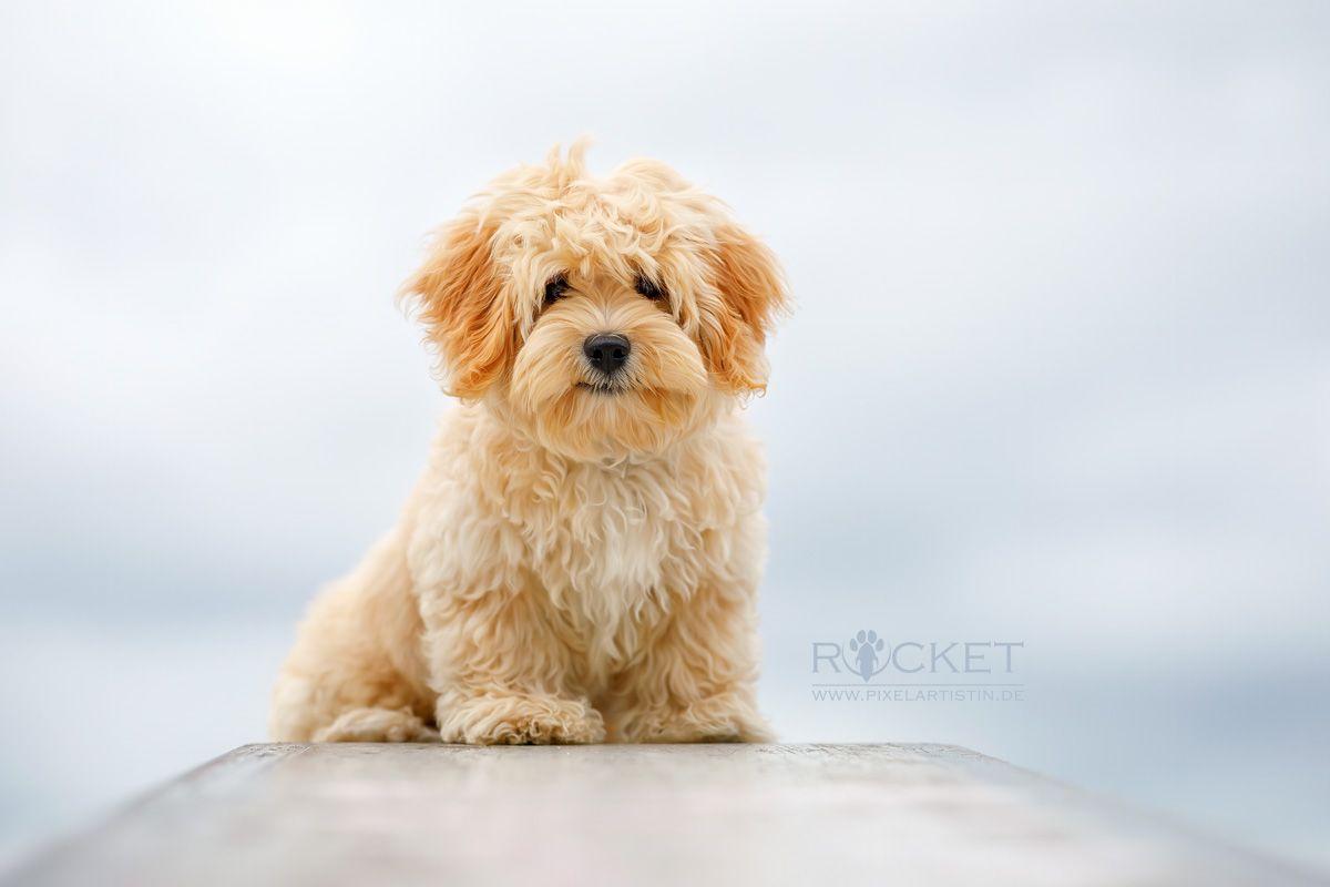 Vom Jungspund Zum Junghund Pixelartistin Rocket Havaneser Havanese Havanais Bichon Puppy Welpe Cream Creme In 2020 Junghund Havaneser Pudel Mischling