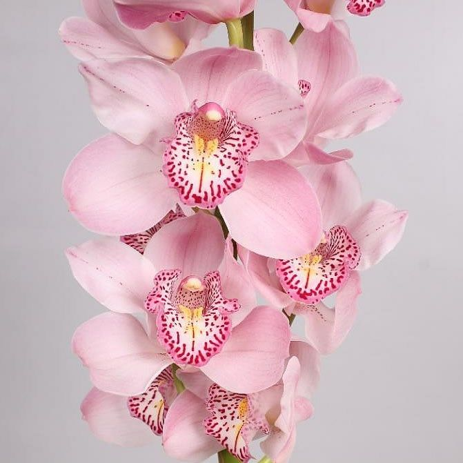 Cymbidium Orchid Candy King Are Perfect For Wedding Flower Arrangements They Create A Natural And Delicate Look Also Orchid Flower Cymbidium Orchids Orchids