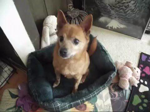 Meet Saki A Petfinder Adoptable Chihuahua Dog In Bethesda Md
