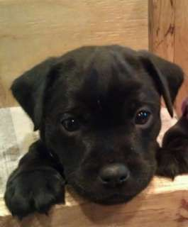 Hoobly Adorable Patterdale Terrier Puppies Patterdale Terrier