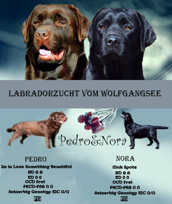 Labradorzucht Vom Wolfgangsee Labrador Zuchter Osterreich Arbeitshunde Hunde Und Labrador Retriever