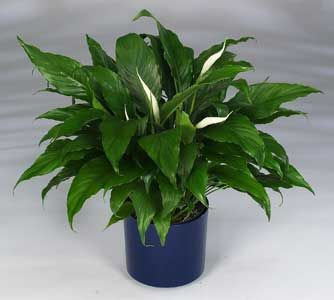 why do peace lily get brown leaves and tips gardening plants peace lily peace lily plant care. Black Bedroom Furniture Sets. Home Design Ideas