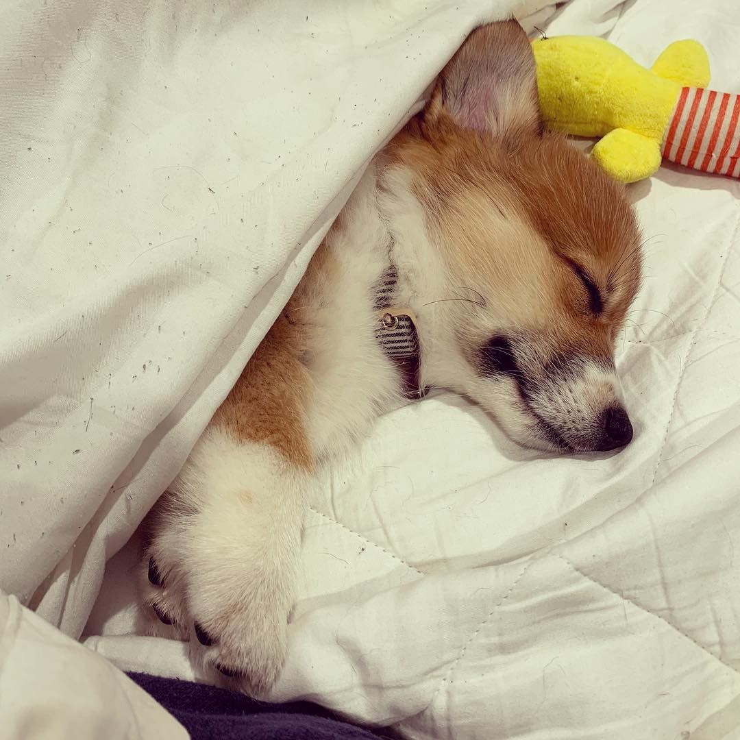 Corgi Puppy Penny Sleeping Puppies Corgi Dogs