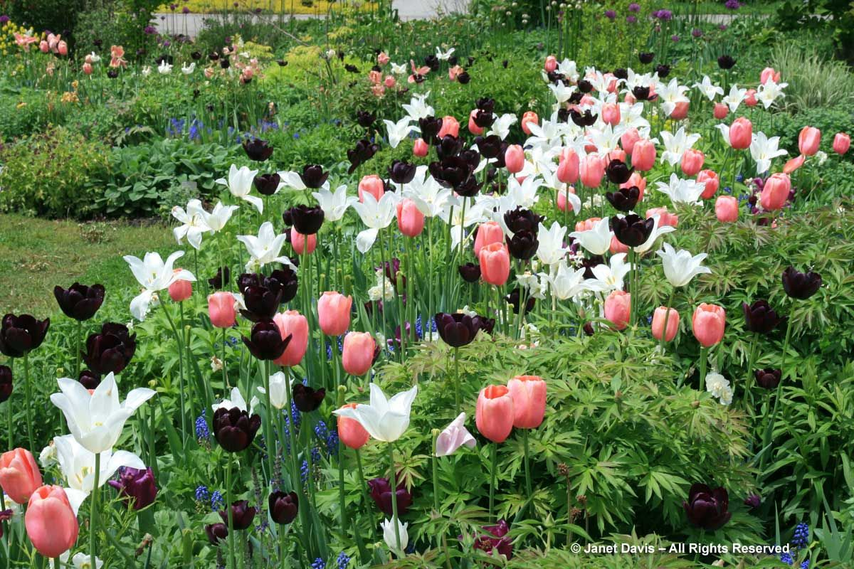Tbg Spring Bulbs Tulipa White Triumphator Queen Of The Night