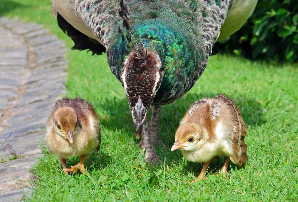 Peachicks Photo by Sarah W. National Geographic Your