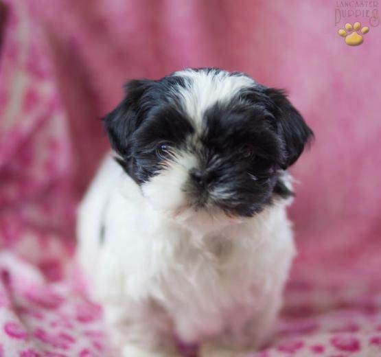 Sally Shih Tzu Puppy For Sale In Allenwood Pa Lancaster