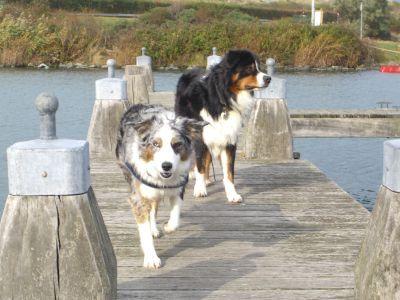 Slaphappy Aussies Im Ruhrgebiet Bochum Nrw Australischer Schaferhund Welpen Ruhrgebiet Australien
