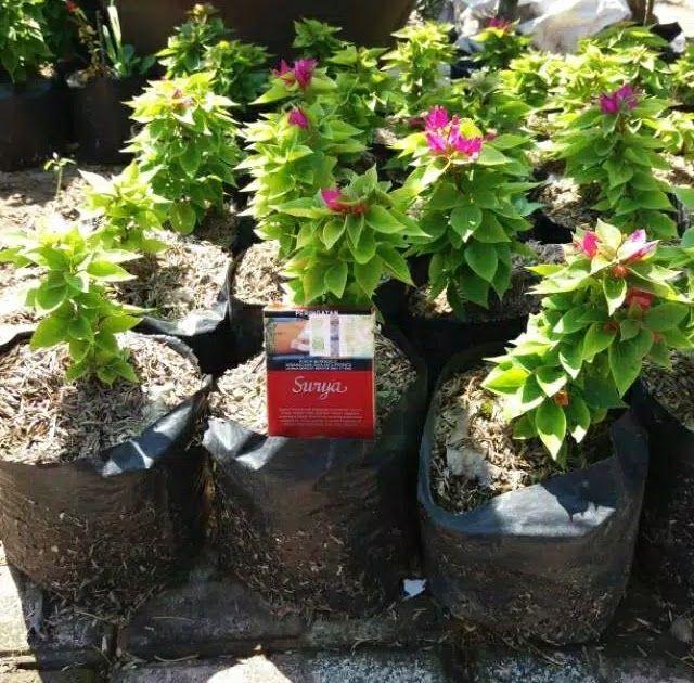 Paling Populer 24 Contoh Gambar Bunga Bugenvil Jual Produk Bibit Bougenville Singapura Murah Dan Terlengkap 6 Cara Merawat Bu Di 2020 Menanam Bunga Bunga Ungu Menanam