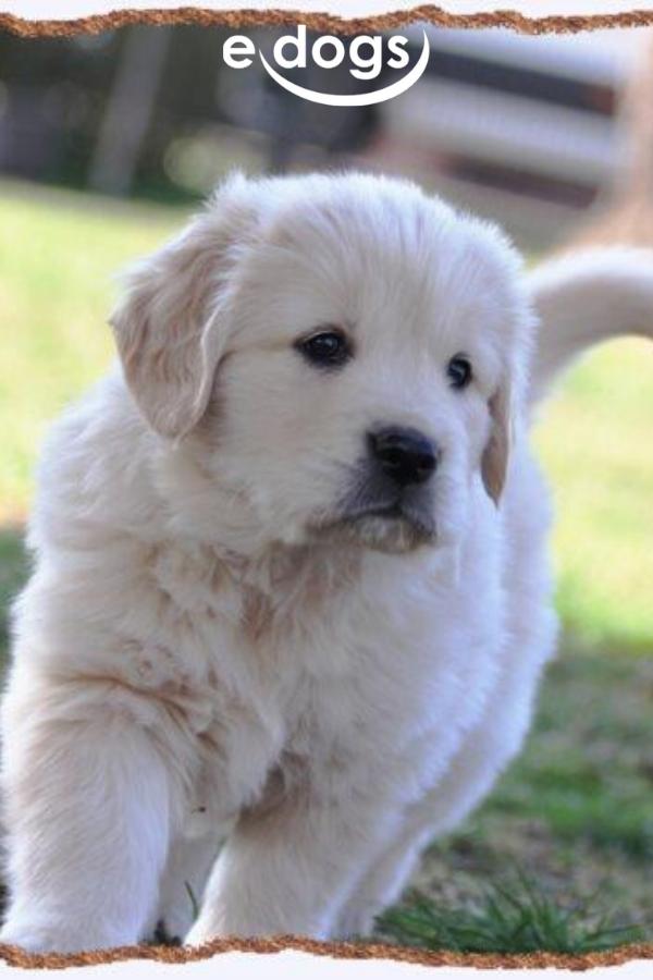 Suesser Golden Retriever Welpe In 2020 Golden Retriever Hunde Golden Retriever Welpen