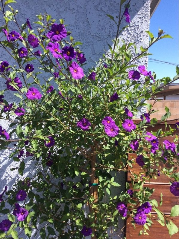 Free Plant Identification Flowering Trees Purple Flowering Bush Plants