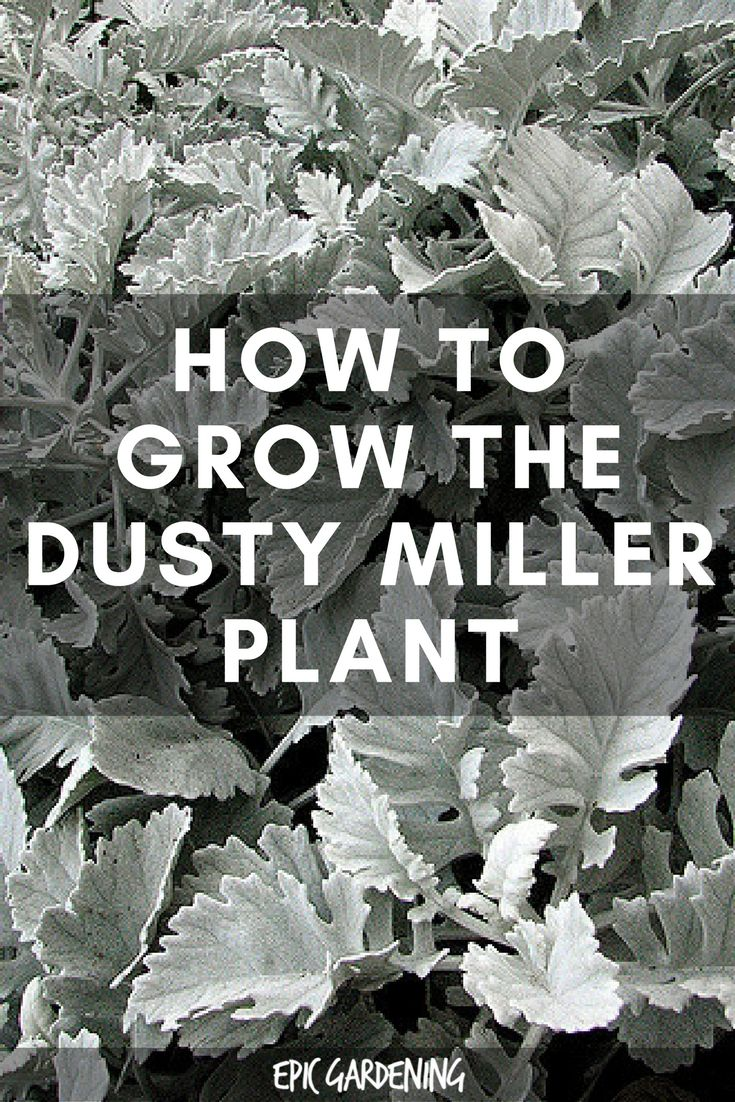 Dusty Miller Plant Care Types And Growing Tips Gardening