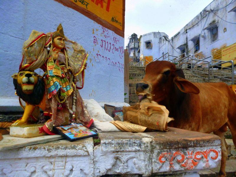 La vaches est un animal sacré en Inde et bien souvent elles se promène librement dans les rues. Celle ci, ayant visisblement un peu faim a décidé de goûter aux textes sacrés au bord du lac Pushkar. Découvrez Pushkar et le Rajasthan avec India Someday: www.indiasomeday.fr