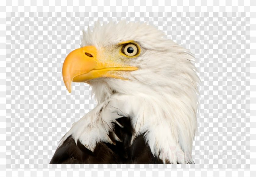 Bald Eagle Head Png Bald Eagle Eagle Head Eagle Painting