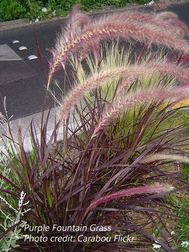 Purple Fountain Grass Botanical Name Pennisetum Setaceum Rubrum General Fountain Grass Grasses Landscaping Red Fountain Grass