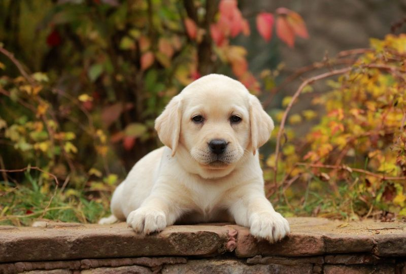Animal Labrador Retriever Dogs Dog Pet Baby Animal Puppy Wallpaper 2019 Wallpaper Grab Wallpapers Retriever Dog Labrador Retriever Dog Labrador Retriever