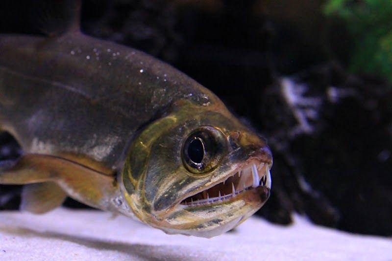 Vampire Tetra Freshwater Fish Aquarium Fish Cool Fish