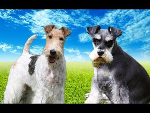 Fox Terrier VS Miniatu...