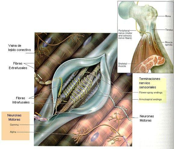 huso muscular y organo tendinoso de golgi funcion