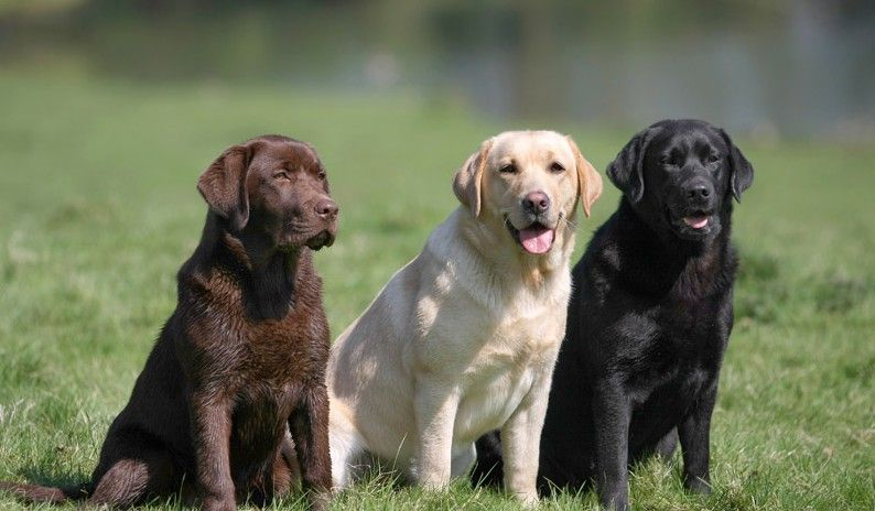 Best Suited Dog Breeds For Indian Climate Labrador Retriever Dog Breeds Labrador Dog