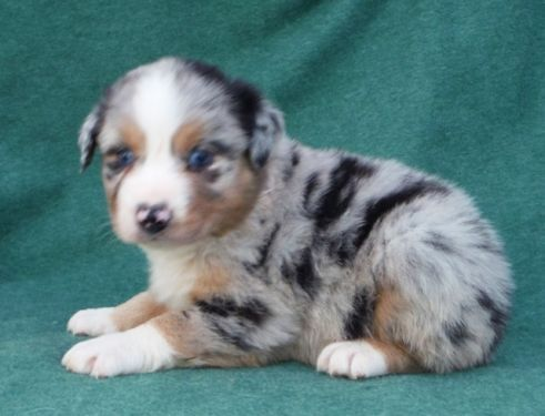 Australian Shepherd Dogs Puppies For Sale In Orlando Ebay Classifieds Kijiji Page 1 Australian Shepherd Dogs Australian Shepherd Dogs And Puppies