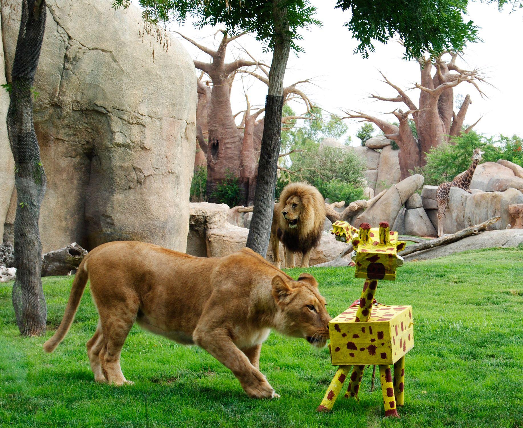 Pin de b b hi valencia en bioparc valencia pinterest - Muebles los leones valencia ...