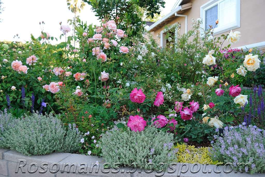 Companion Plants For Roses And Some Color Combos Rose Companion