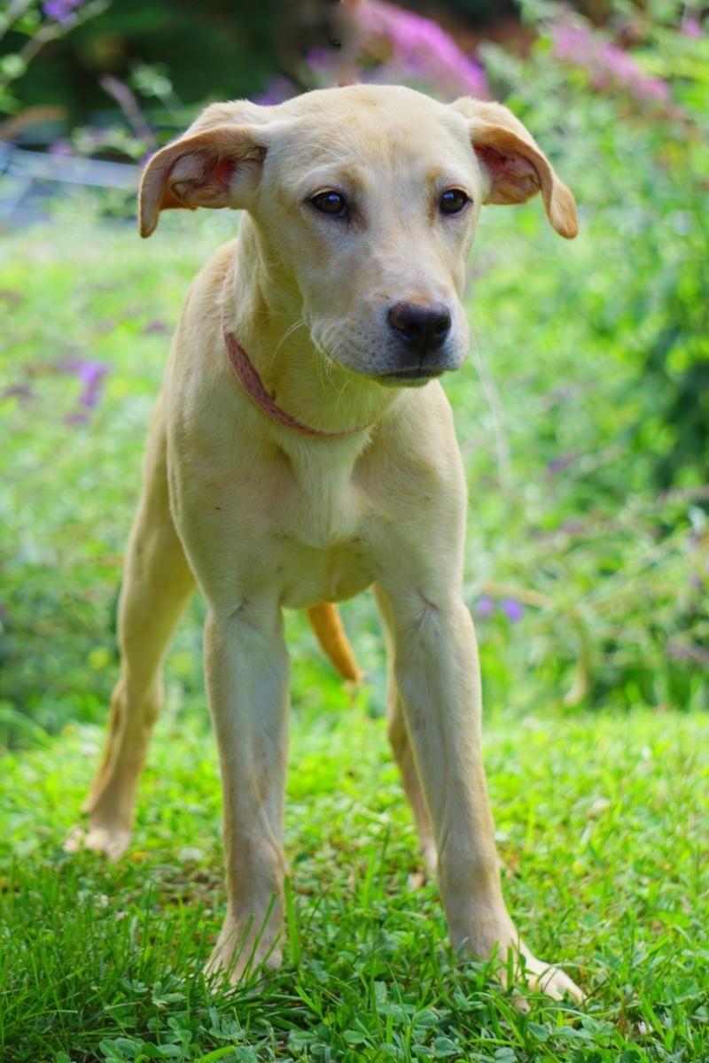 Adopt Blayne on Labrador retriever dog, Labrador