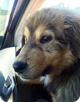 Cheshire Ct Golden Retriever Mix Meet Hank A Dog For Adoption