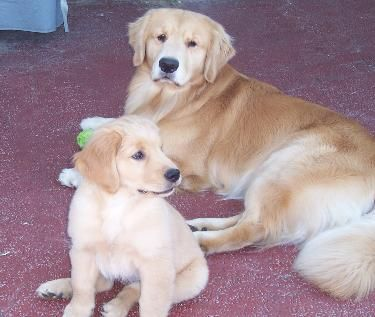 Yellow Rose Golden Retrievers Smithville Tx Golden Retriever