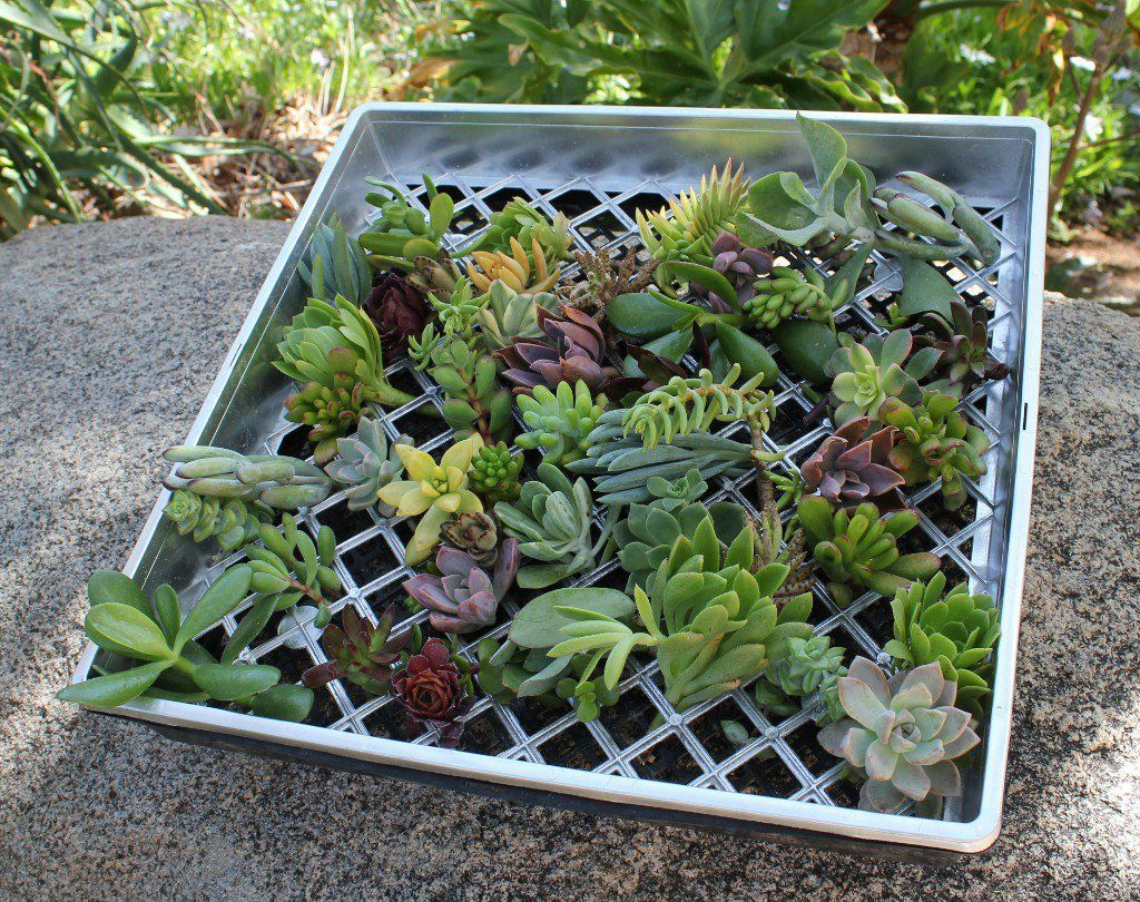 how to repot succulents from cuttings