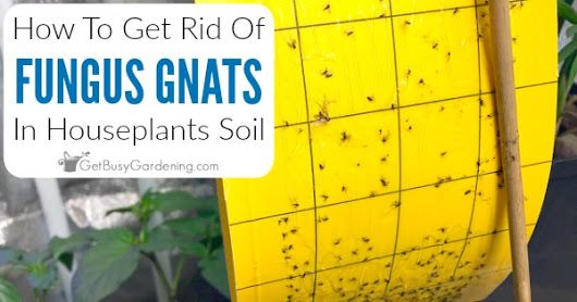 How To Get Rid Of Fungus Gnats In Houseplants Soil Soil Plant Fungus Houseplants