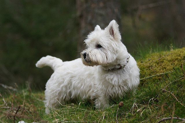 Monarch Of The Glen White Terrier Westies West Highland White
