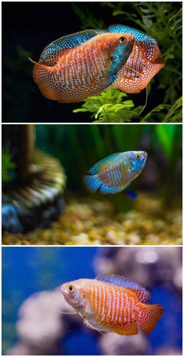 Dwarf Goirami Fish Species For Aquascaping Top Level Fish Freshwater Aquascapes Aquascape Aquarium Fish Fish