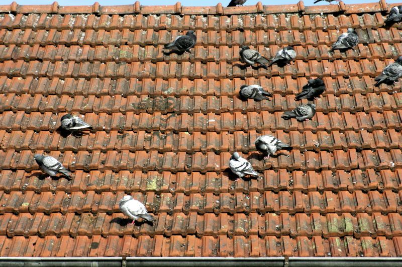 How To Get Rid Of Pigeons Get Rid Of Pigeons Household Pests Pigeon Deterrent