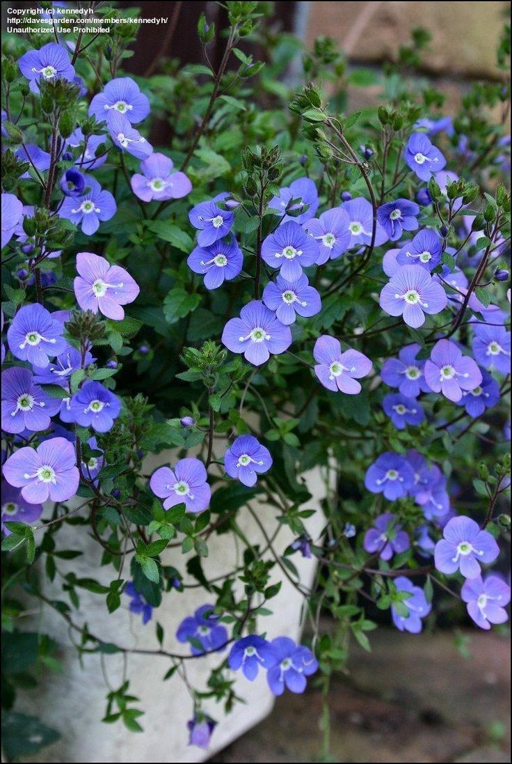 Creeping veronica speedwell georgia blue veronica umbrosa creeping veronica speedwell georgia blue veronica izmirmasajfo Images
