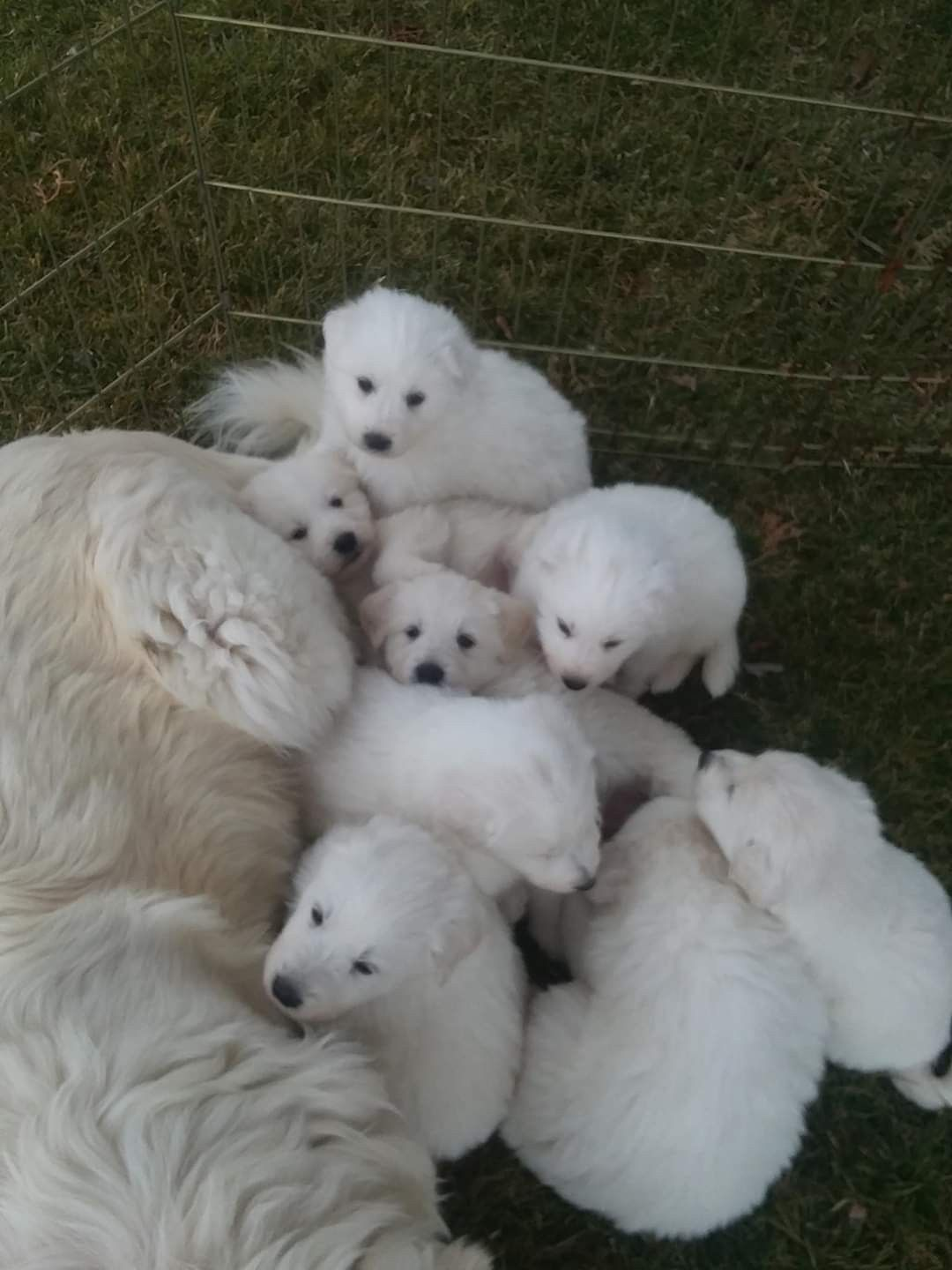 Great Pyrenees Puppy For Sale Price References