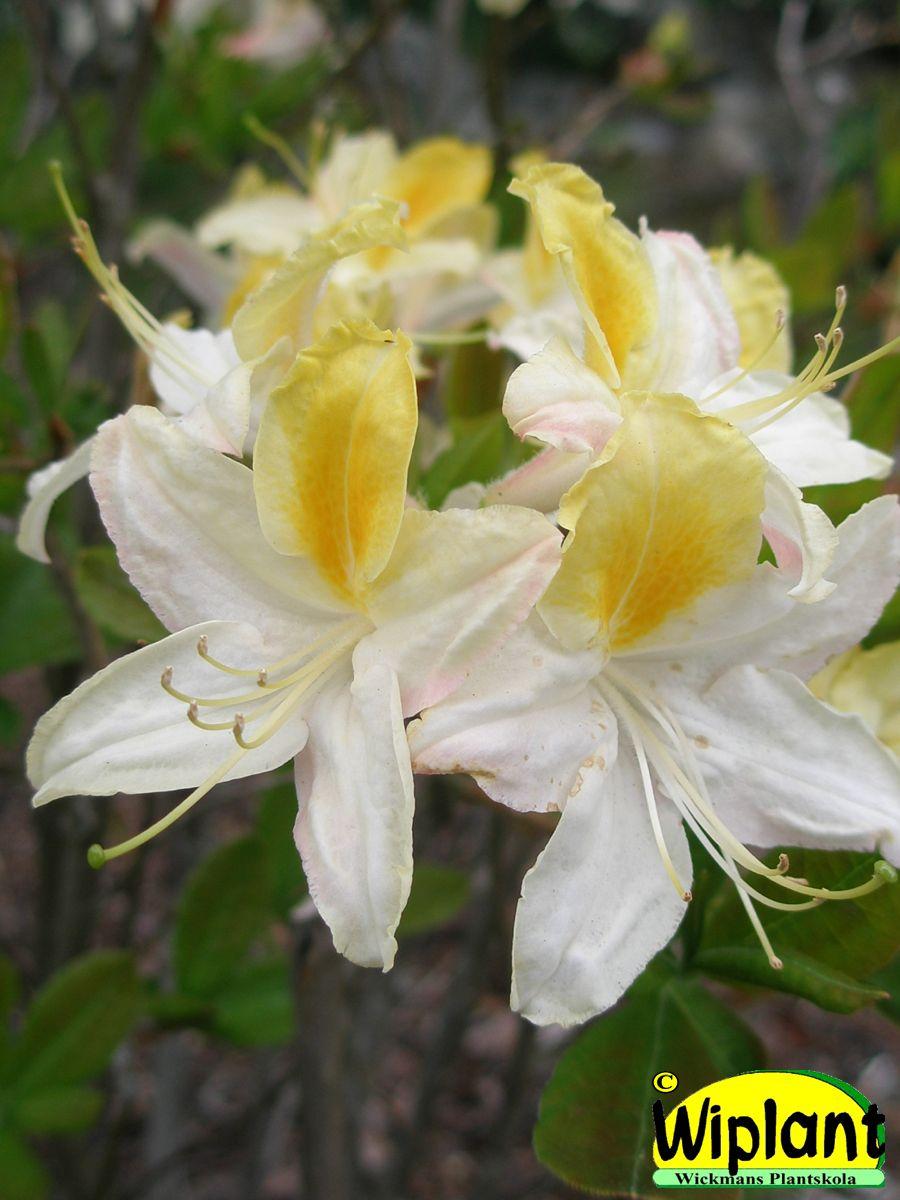 Rhododendron L. 'Northern Hi-Lights', Northern Light atzalea. gul-vita blommor med  läcker doft. Förädling fr. Minnesota. Höjd: 1,2 m.