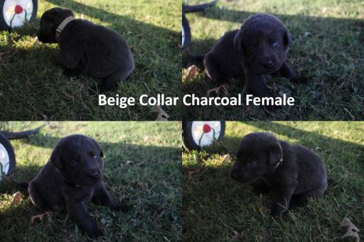 Litter Of 9 Labrador Retriever Puppies For Sale In Cullman Al Adn 48047 On Puppyfinder Com Gender Female Age 5 Weeks Old Puppies For Sale Labrador Retriever Charcoal Lab Puppies